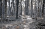 Burned Trees in the Pine Barrens